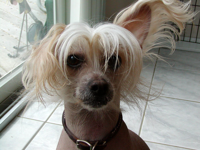 Portrait of Blaze the Chinese Crested
